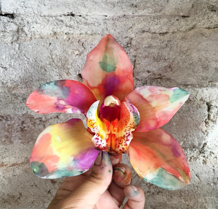 Cayena-Orchid2